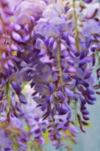 Flower Close-Up Notebook Covers - Hanging Wisteria