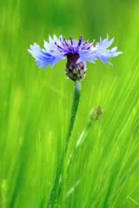 Wildflower Notebook Covers - A Cornflower